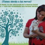 Bichón Maltes: el perro para alérgicos