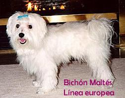 perro bichon maltes linea europea
